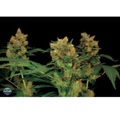 CALIFORNIA HASH PLANT FEMINIZED