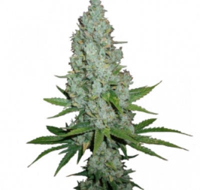 Amnesia Lemon Feminized - купить