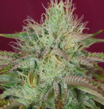 Jamaican Orange Skunk Feminised