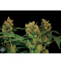 CALIFORNIA HASH PLANT FEMINIZED - купить