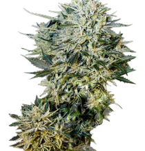 Auto Sugar Gom Feminized
