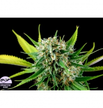 Royal Haze feminized
