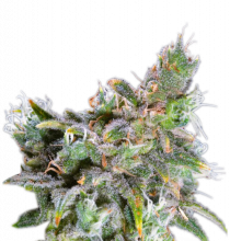 Magic Bud Feminized