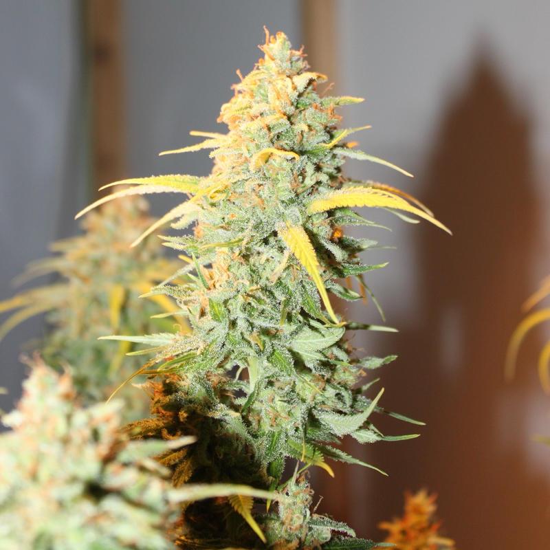 Купить семена марихуану киев сайт семечек марихуаны